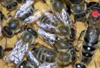 蜂种推介|吉林省养蜂科学研究所优良蜂种介绍(2)——东北黑蜂