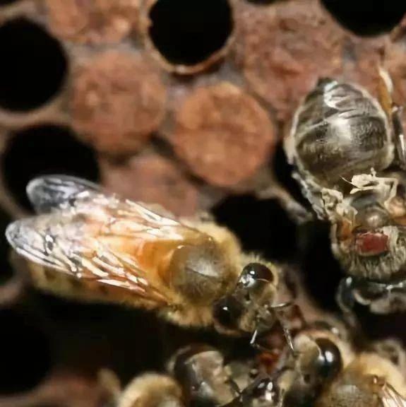 蜂群秋季饲养管理技术