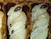 喝蜜蜂蛹酒有什么功效