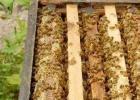 善良的蜜蜂 牛奶蜂蜜可以一起喝吗 蜂蜜怎么吃 蜂蜜去痘印 蜜蜂图片