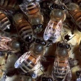 越冬期蜜蜂下痢及防治方法