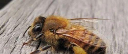 大肚型爬蜂病防治