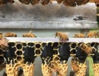 蜜蜂的发育