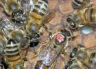 生姜蜂蜜水什么时候喝最好 蜂蜜治咽炎 土蜂蜜价格 香蕉蜂蜜减肥 蜂蜜水果茶