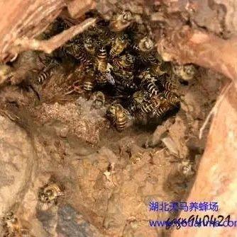 中华蜜蜂饲养关键性的六个技术【下】