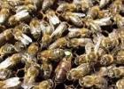 蜂蜜配生姜的作用 冠生园蜂蜜 洋槐蜂蜜价格 蜜蜂图片 养蜜蜂的技巧