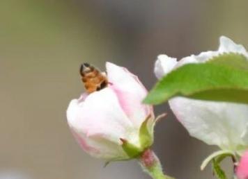 蜜蜂科普|工蜂——生物界的劳模和典范