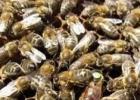 蜂蜜不能和什么一起吃 蜂蜜水果茶 蜂蜜小面包 善良的蜜蜂 蜂蜜加醋的作用与功效