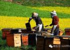 蜂蜜加醋的作用 土蜂蜜的价格 中华蜜蜂蜂箱 蜂蜜什么时候喝好 善良的蜜蜂