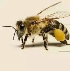 蜂花粉与武则天的传说