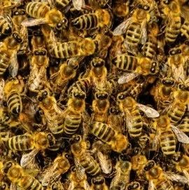 生姜蜂蜜水什么时候喝最好 如何养蜜蜂 吃蜂蜜会长胖吗 蜂蜜减肥的正确吃法 牛奶蜂蜜可以一起喝吗