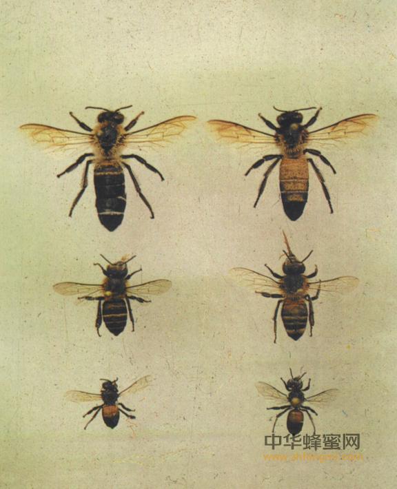 蜜蜂 养蜂 蜜蜂养殖 技术 蜜蜂社会习性 特征