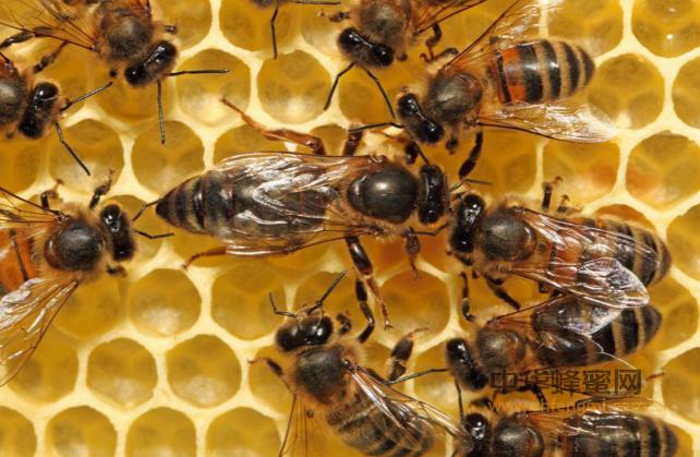 蜜蜂 工蜂 职责 分泌蜂乳 哺育蜂王 哺育工蜂幼虫