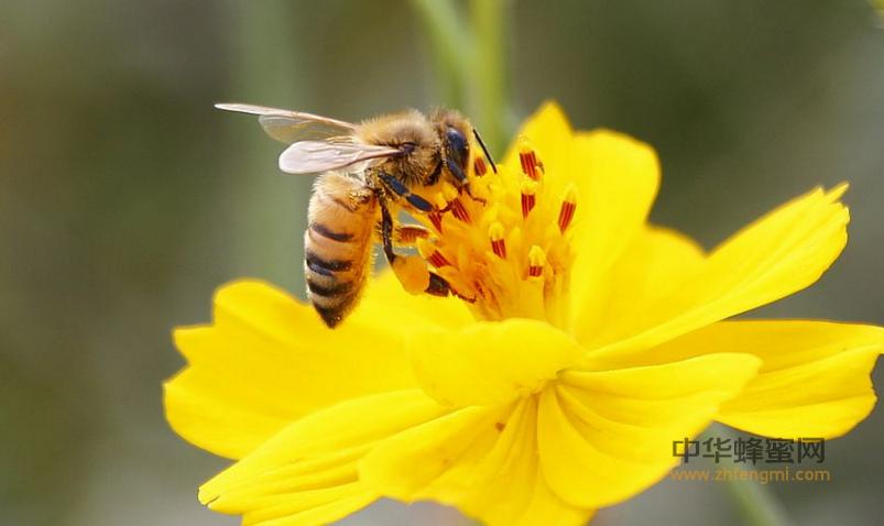 蜜蜂 工蜂 中老年 职责 老年工蜂 采蜜 采粉 养蜂 养蜂技术 授粉
