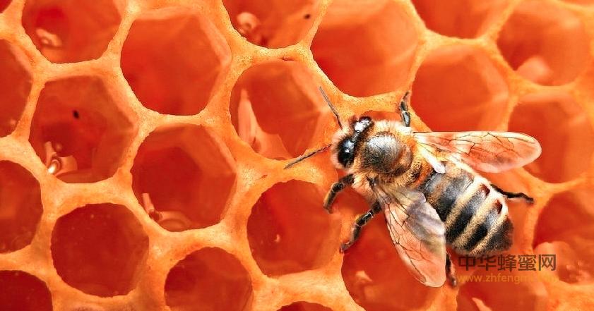 蜜蜂 巢房 巢脾 蜂王台 资本论 蜜蜂 克里尼格 马洛林