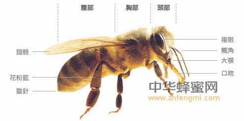 蜜蜂 身体 结构 蜜蜂构成 形态 特征