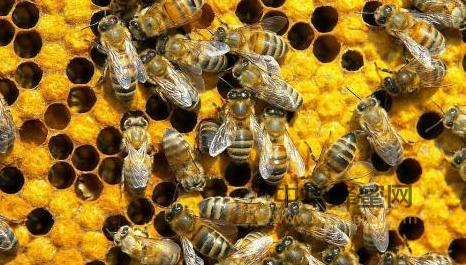 蜜蜂 分泌系统 王浆腺 内分泌 腺体 上颚腺 蜡腺 毒腺