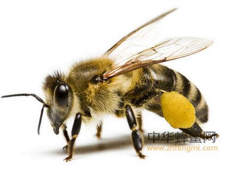 蜜蜂 蜜蜂构成 血淋巴 血细胞 蜜蜂养殖 养蜂技术