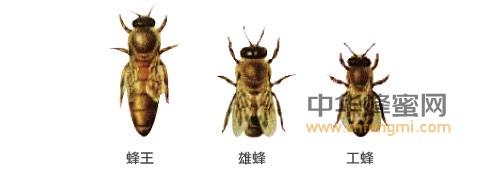 蜜蜂 蜜蜂养殖 养蜂技术 蜜蜂介绍 工蜂 雄峰 蜂王