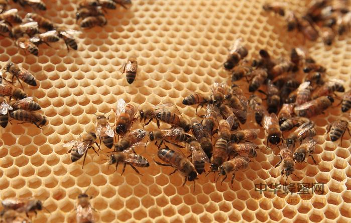 蜜蜂 蜜蜂养殖 养蜂技术 意大利蜂 中蜂 蜜蜂品种