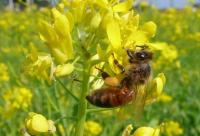 中蜂形态特征