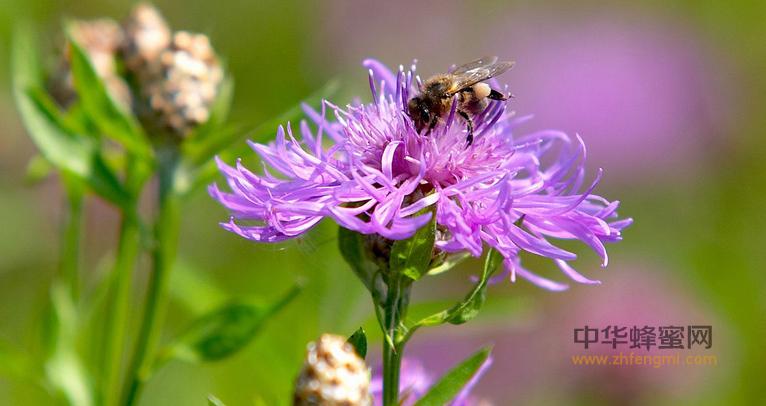 蜜蜂 养殖蜜蜂 养蜂技术 蜜蜂采蜜 采粉 酿蜜 蜂蜜