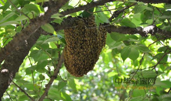 蜂群崩溃综合征