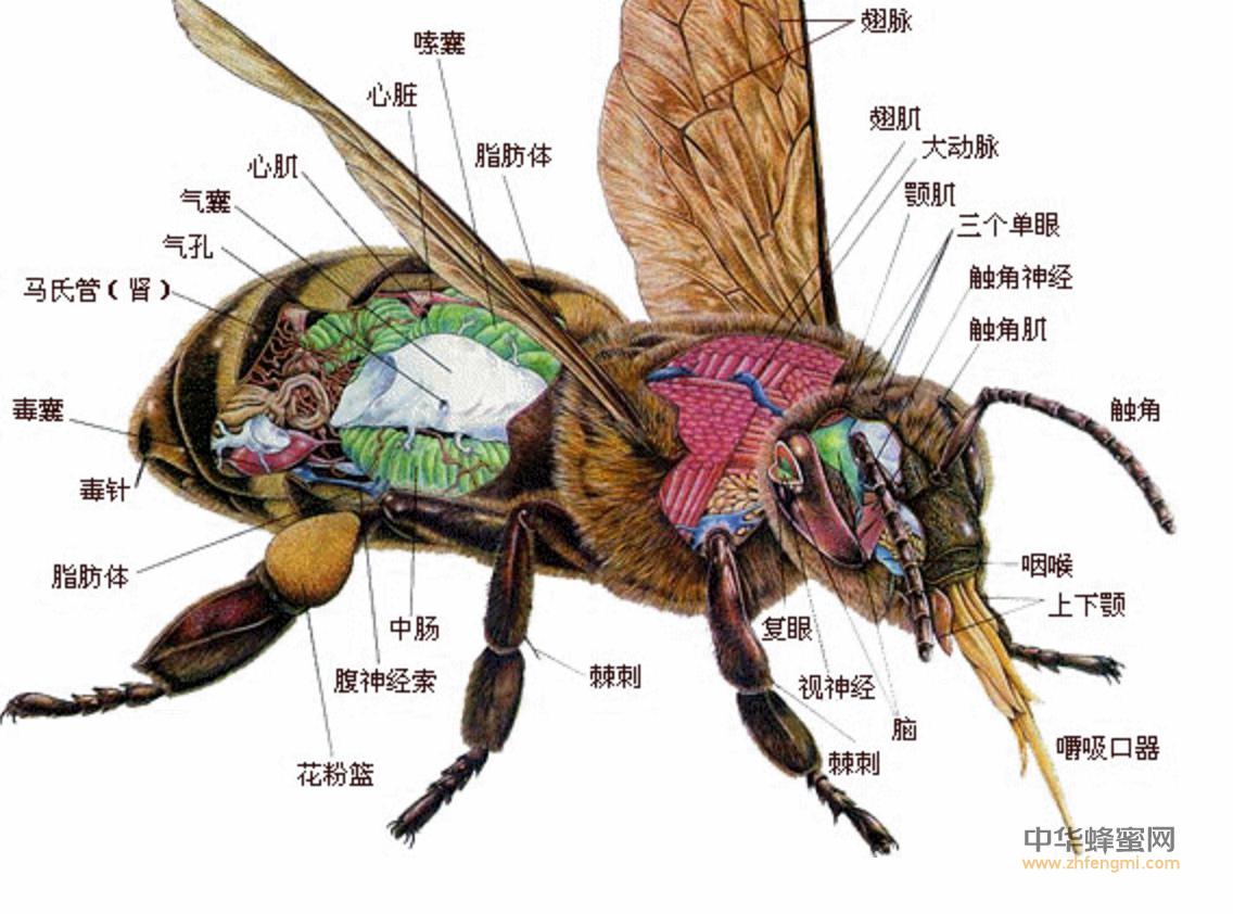 蜜蜂 生殖系统 贮精囊 射精管 阴茎 睾丸 阴道