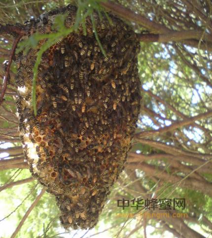 蜜蜂 家庭 王国 同母异父 有性生殖 染色体