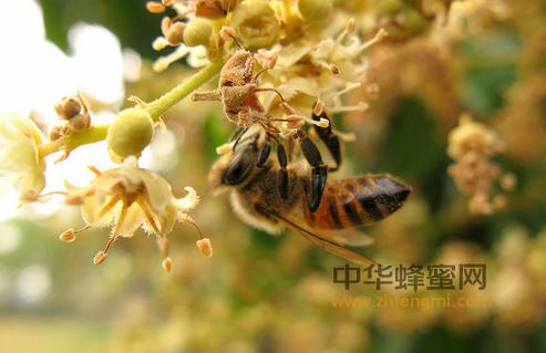 蜜蜂 呼吸 蜜蜂结构 蜜蜂养殖 养蜂技术 气门 气管 气囊