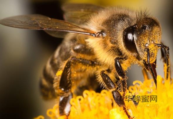 蜜蜂 蜂群 信息 传递 气味素 电磁震荡 蜜蜂养殖 养蜂技术