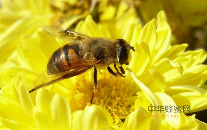 蜜蜂 养殖蜜蜂 养蜂技术 蜜蜂养殖技术 蜜蜂采蜜 蜜蜂精神