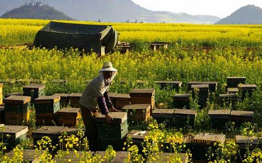 蜜蜂的近代养殖
