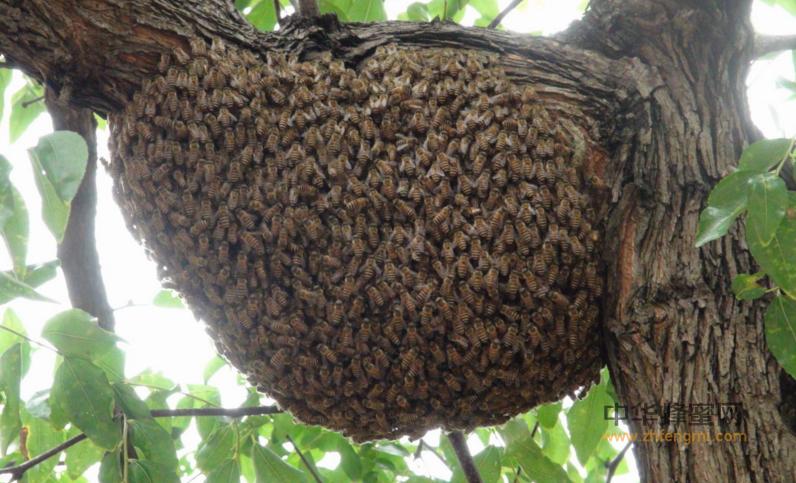 蜜蜂 蜜蜂养殖 蜜蜂养殖技术 蜜蜂病虫害 防治 CCD