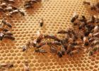 蜜蜂 18日龄工蜂 王浆腺 蜡腺 养蜜蜂 蜜蜂养殖
