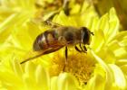 蜂种 蜜蜂良种 意大利蜜蜂 意蜂