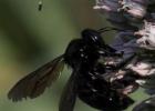 蜜蜂 养殖蜜蜂 养蜂技术 蜂种 新疆黑蜂 分布 特征