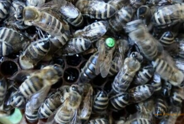 东北黑蜂的饲养简史
