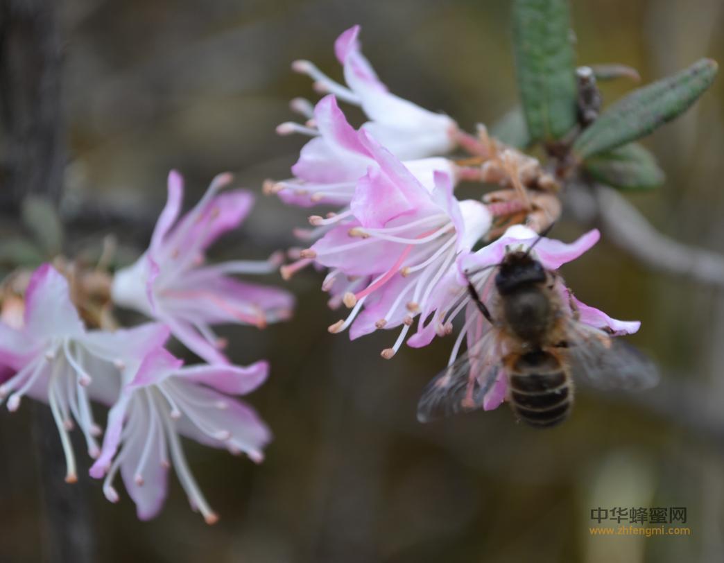 蜜蜂春季饲养技术之观察蜜蜂飞翔