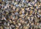 养蜂 养蜂技术 养蜂方法 怎么养蜂 养殖蜜蜂 蜂群强化 蜂群合并