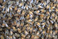蜂群的合并与强化