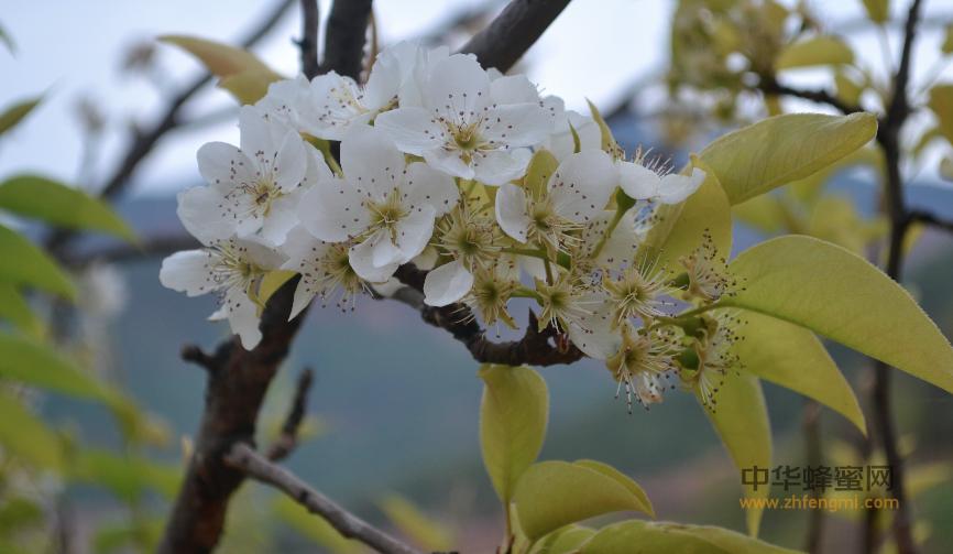 蜜粉源植物对蜜蜂养殖的影响