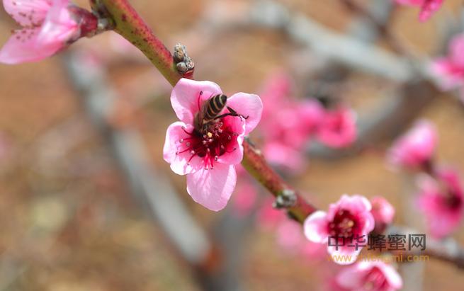 蜜源 花蜜 植物 养蜂 养殖蜜蜂 蜜蜂养殖技术 怎么养蜂