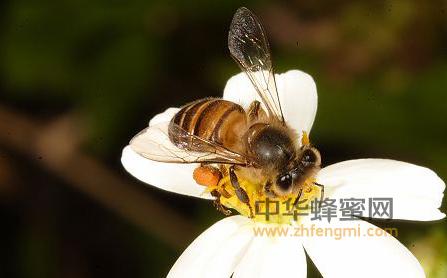 蜜蜂 授粉 养蜂 蜜蜂养殖技术 蜜蜂授粉 养蜂技术 养蜜蜂