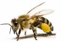 授粉与蜜蜂的形态结构