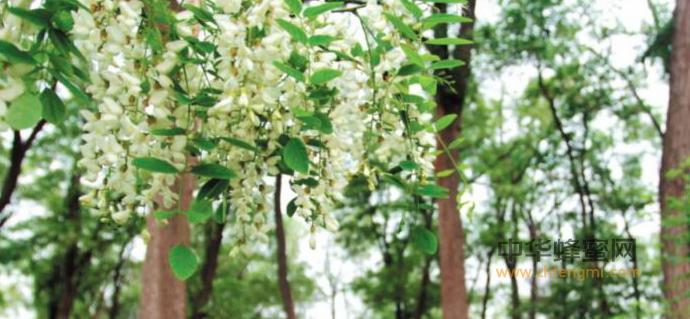 老瓜头 蜜源植物 老瓜头蜂蜜 蜜蜂 养蜜蜂 蜜蜂养殖技术 怎么养蜂 养蜂技术