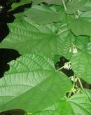 有毒蜜源植物——八角楓