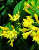 有毒蜜源植物——钩吻