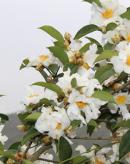 有毒蜜源植物——油茶
