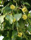 有毒蜜源植物——喜树